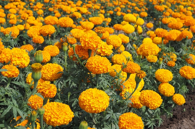 Calêndula amarela floresce com as folhas verdes no prado no jardim para o fundo