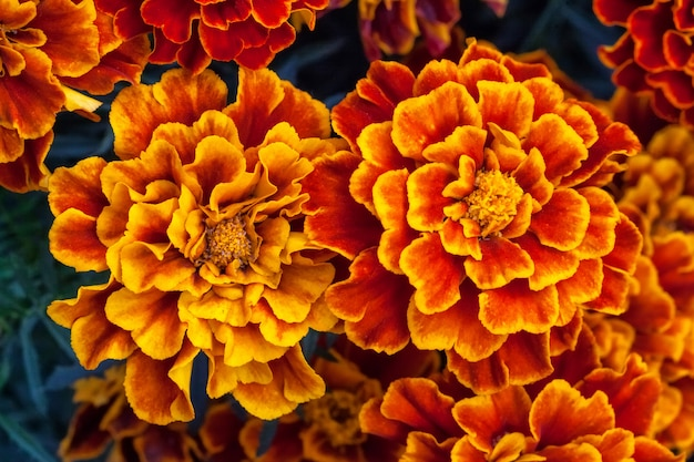 Calêndula amarela grande flores no jardim, vista superior