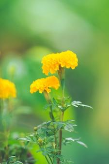 Calêndula amarela no jardim