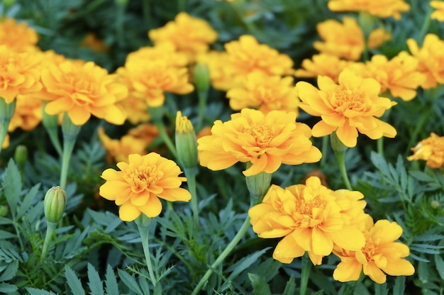 Calêndula amarela ou flores de calêndula no jardim