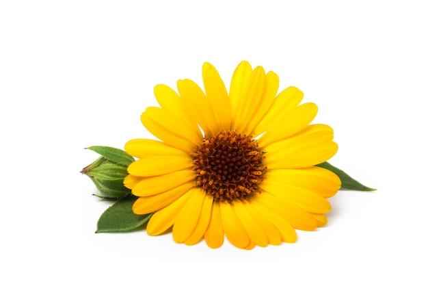 Calêndula. calêndula flor com folhas isoladas no branco