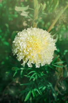 Calêndula cremosa branca bonita no jardim