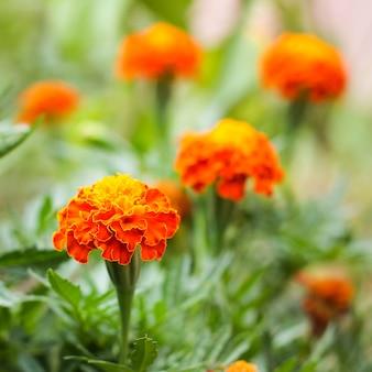 Calêndula de flor de laranjeira