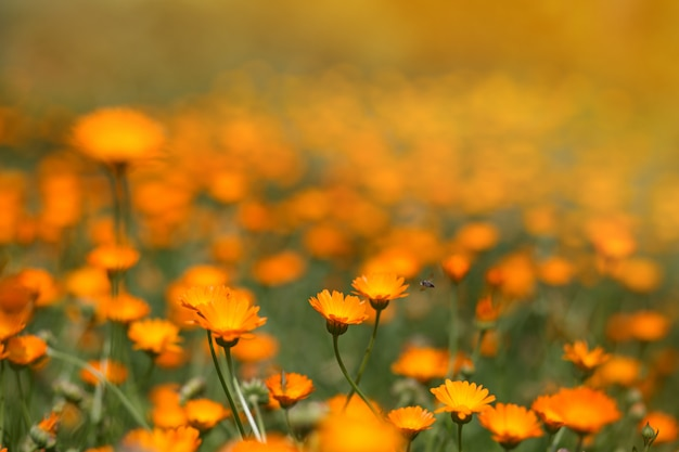Calêndula de flores laranja em campo. paisagem de flores coloridas do verão.