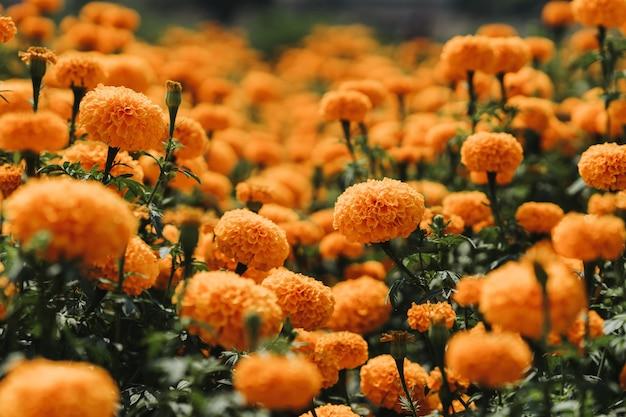 Calêndula flor em graden