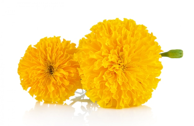 Calêndula flor isolada