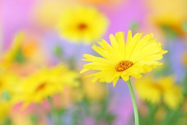 Calêndula flor