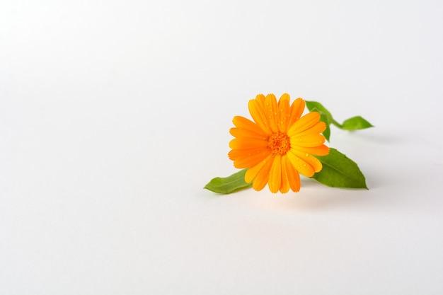 Calêndula. flores com folhas isoladas em branco