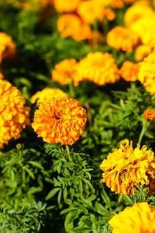 Calêndula flores em um jardim