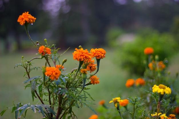 Calêndula flores no jardim