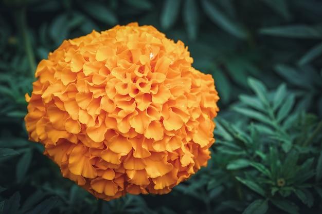 Calêndula laranja africana em flor
