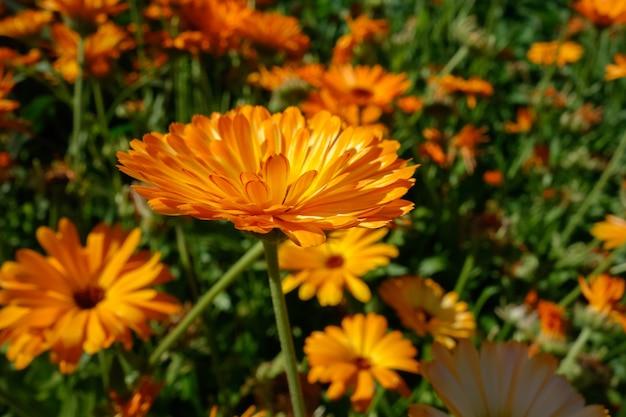 Calêndula laranja brilhante florescendo em um jardim inglês