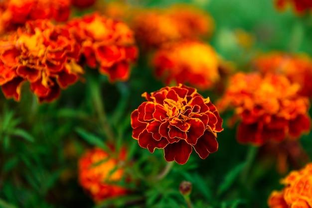 Calêndula laranja crescendo no jardim.