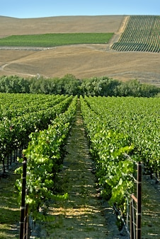 Califórnia vineyard rows