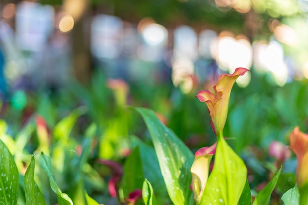 Calla lily no jardim