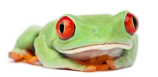 Callidryas de olhos vermelhos agalychnis treefrog na frente de fundo branco