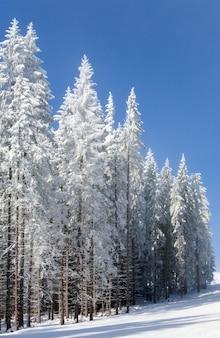 Calma paisagem montanhosa de inverno com geada e pinheiros cobertos de neve