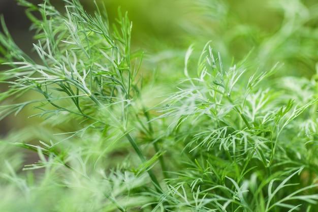 Cama de close-up verde dill. fotografia macro