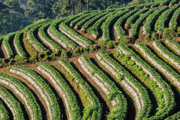 Camada de matriz fazenda morango na colina na montanha de angkhang doi, chiangmai, tailândia