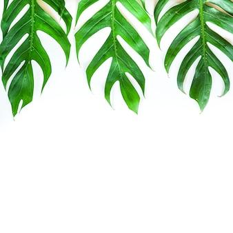 Camada plana da folha de monstera tropical verde com espaço de cópia
