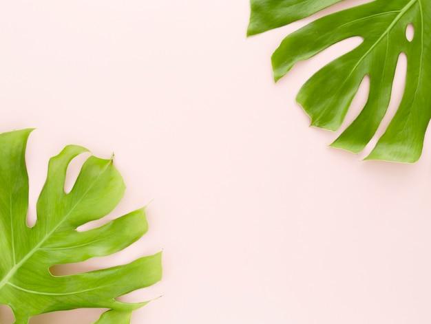 Camada plana de folhas de monstera
