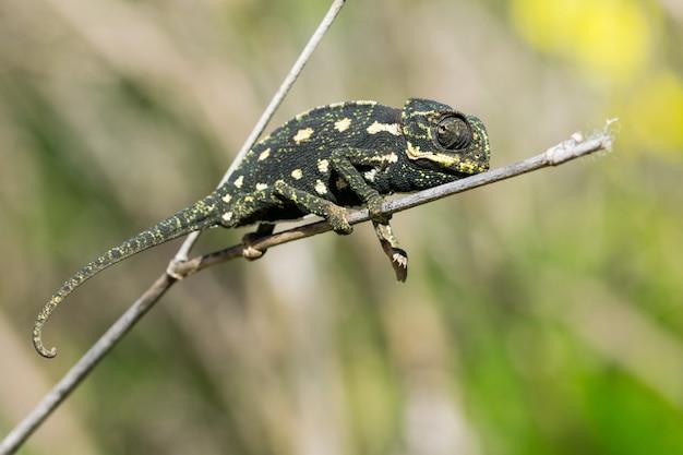 Camaleão bebê equilibrando em um galho de erva-doce.