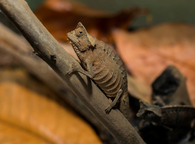 Camaleão brookesia