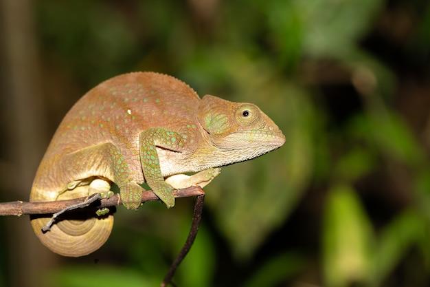 Camaleão colorido em um close-up na floresta tropical em madagascar.