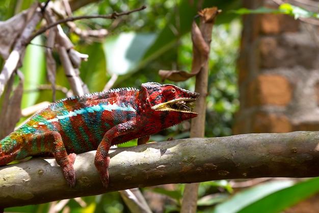 Camaleão colorido em uma filial em um parque nacional na ilha de madagascar