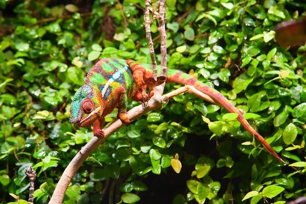Camaleão colorido nos arbustos verdes em um galho