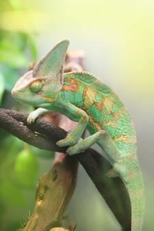 Camaleão colorido verde sentado no galho de árvore - animal selvagem close-up vista.