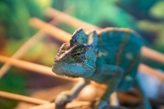 Camaleão de perto. réptil de close-up camaleão lindo multicolorido com pele brilhante e colorida, animal de estimação tropical exótico