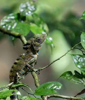 Camaleão em galhos de árvores na floresta tropical em mulu, sarawak, bornéu