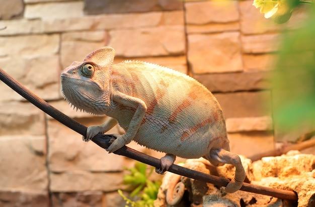Camaleão em um galho, aquecendo-se sob uma lâmpada no terário. o camaleão se disfarça como a cor da parede.