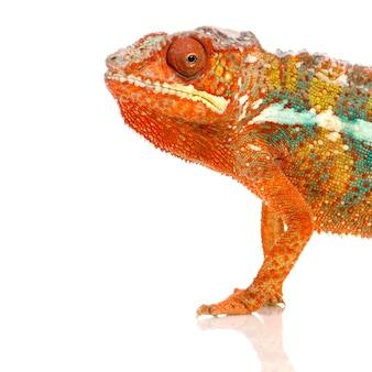 Camaleão furcifer pardalis isolado