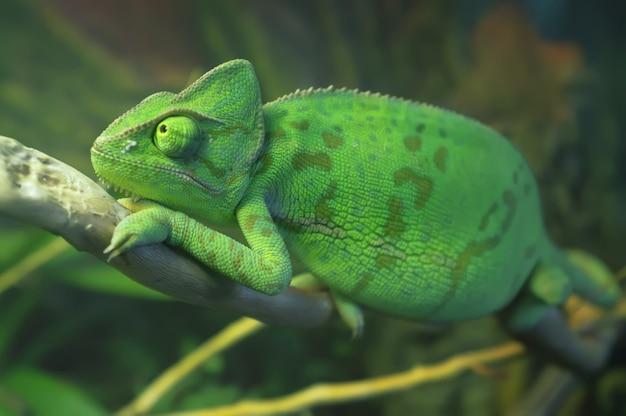 Camaleão manchado de verde brilhante sentado no galho
