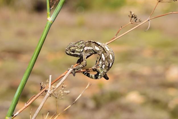 Camaleão mediterrâneo agarrado a erva-doce selvagem.