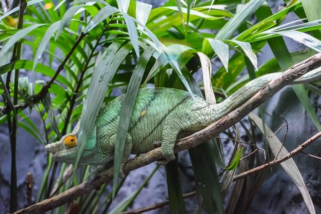 Camaleão-pantera do lagarto verde em um galho se escondendo da chuva.