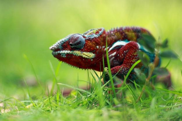 Camaleão phanter caminhando na grama