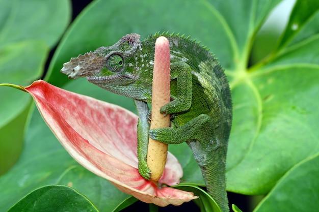 Camaleão segurando o botão da flor