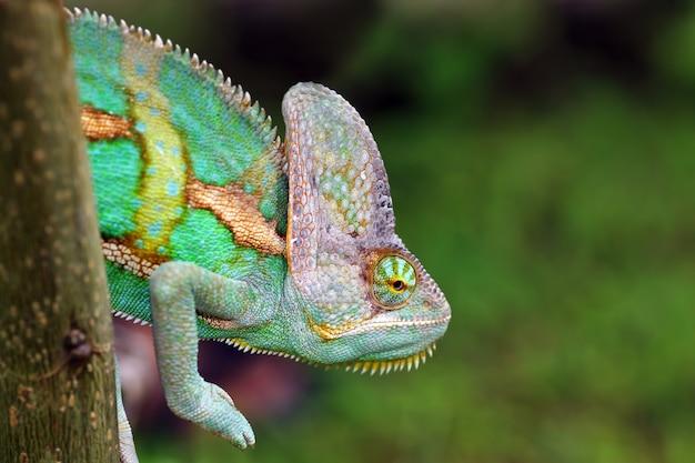 Camaleão velado em animal galho close up