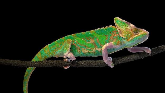 Camaleão verde brilhante rastejando em um galho