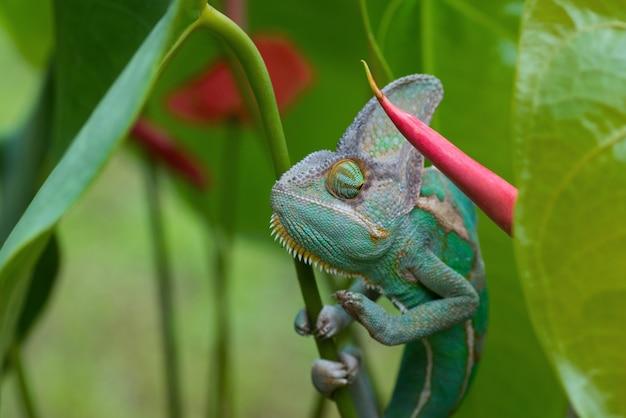 Camaleão verde dentro de uma planta, camaleão velado close up