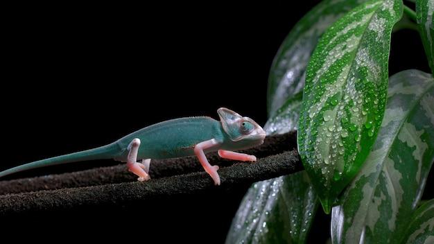 Camaleão verde em um galho de árvore, bela cor de camaleão
