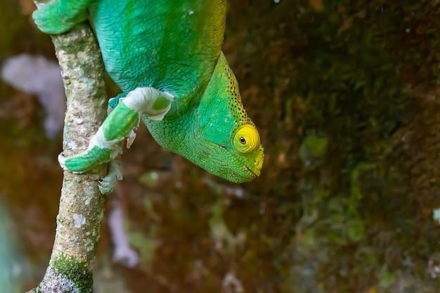 Camaleão verde em um galho de árvore