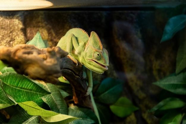Camaleão verde fofo se aquecendo sob a lâmpada no aquário