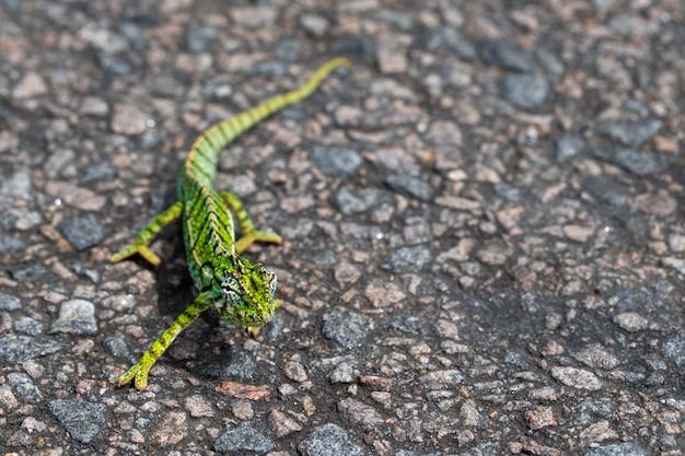 Camaleão verde no asfalto