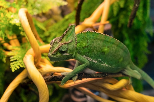 Camaleão verde senta-se perto de um galho. réptil de animais selvagens.