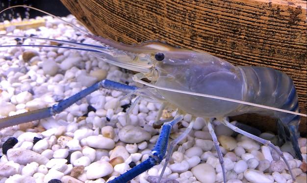 Camarão de água doce gigante ou camarão gigante do rio no tanque.