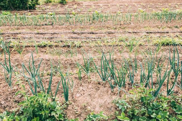Camas de jardim com cebolinha